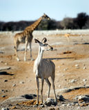 A female Kudu standing on the African savannah with a giraffe in the background Royalty Free Stock Photo