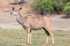 Female kudu Stock Photography