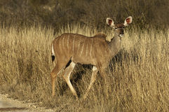 Female Kudu Royalty Free Stock Photography