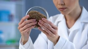 Female lab technician looking attentively at wheat grain in petri dish, quality stock images