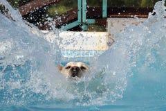 Female Labrador Diving Into A Pool Stock Photos