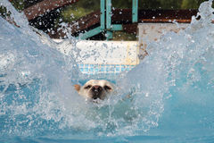 Female labrador  diving into a pool. Photographed  on a farm in Italy Stock Photos