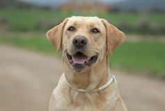 Female Labrador Dog Royalty Free Stock Photo