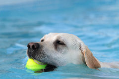 Female labrador  du recovery in a ball pool. Female labrador  to recover a ball  in the swimming pool du  photographed on a farm in Italy Stock Image