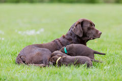 Female labrador retriever dog with puppies Stock Photos