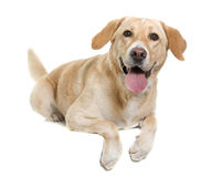 Female labrador retriever Royalty Free Stock Image