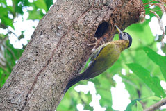 Female laced woodpecker Royalty Free Stock Images