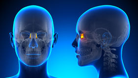 Female Lacrimal Skull Anatomy - blue concept Royalty Free Stock Images