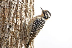 Female Ladder-backed Woodpecker California, USA Stock Images