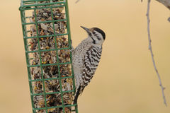 Female Ladder-backed Woodpecker Stock Photos