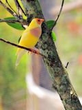 Female Lady Gouldian Finch bird Royalty Free Stock Photography