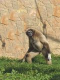 A female lar gibbon is walking on the grass Stock Images