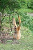 Female Lar gibbon in zoo. Relax with nature background Stock Images