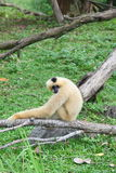 Female Lar gibbon in zoo Stock Images