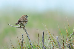 Female Lark Bunting. Perching in grasslands, state bird of Colorado Royalty Free Stock Photography
