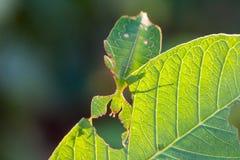 Female leaf insect Phyllium westwoodi Royalty Free Stock Photography