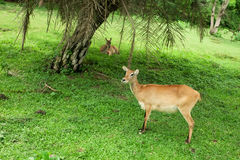 Female lechwe antelope Royalty Free Stock Photo
