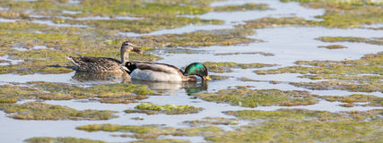 Female left and Male right Mallards Wading in the Marsh. Stock Images