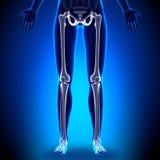 Female Legs - Anatomy Bones Royalty Free Stock Photography