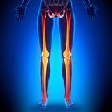Female Legs - Anatomy Bones Stock Photo