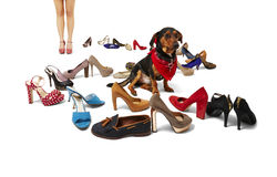Female legs, dachshund and shoes Stock Image