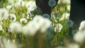 Female legs stepping on the meadow of dandelion fluff flies through the air. Slow motion stock footage