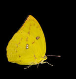 Female Lemon emigrant butterfly Royalty Free Stock Photography