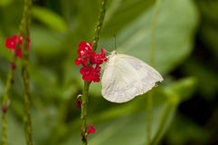 Female Lemon Emigrant Form-crocale butterfly Stock Images