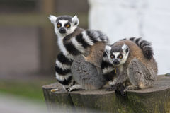 Female lemur with her baby Royalty Free Stock Photos