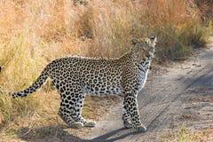 Female leopard Stock Photos