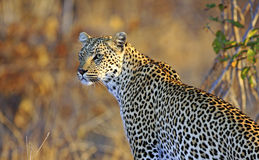 Female leopard Stock Photo