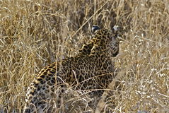 Female Leopard. In the bush of the Kruger National Park Royalty Free Stock Images
