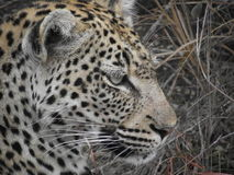 Female leopard close-up facial profile Royalty Free Stock Photos