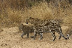 Female Leopard and Cub Stock Photo