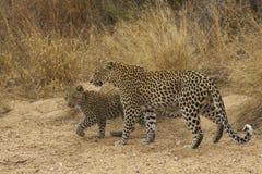 Female Leopard and Cub Stock Photo