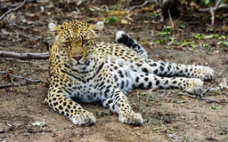 Female Leopard at ease. In the Sabi Sands royalty free stock image