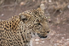 A female leopard face stock images