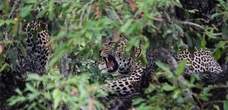 Leave Me To Sleep. A female leopard growls at her young cub while they both sit in a Jackalberry tree. The young cub wanted to play, and the female just wanted Stock Photos