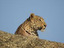Leopard Closeup shot. A female leopard from india state rajasthan. This picture is uploaded without editing Royalty Free Stock Photos