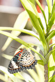 Female Leopard lacewing & x28;Cethosia cyane euanthes& x29; butterfly hang Stock Image