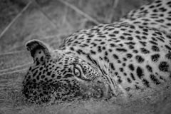 Female Leopard laying in the grass. Royalty Free Stock Images