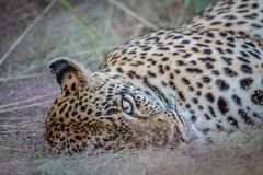 Female Leopard laying in the grass. Stock Image