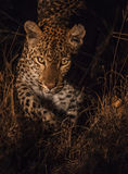 Female leopard with light reflections in eye Stock Image