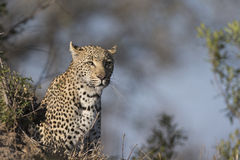 Female leopard looking for male mate Stock Images