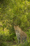 Female leopard in lush vegetation Stock Photos