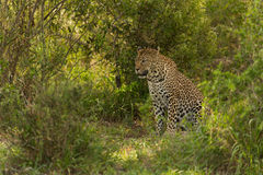 Female Leopard Stock Photography