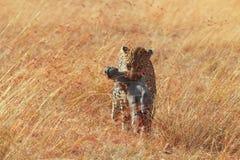 Female leopard in Masai Mara Stock Photos