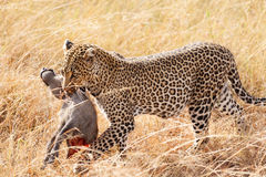 Female leopard in Masai Mara Stock Photography