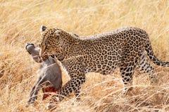 Female leopard in Masai Mara Stock Photography