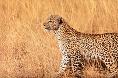 Female leopard in Masai Mara Royalty Free Stock Photography